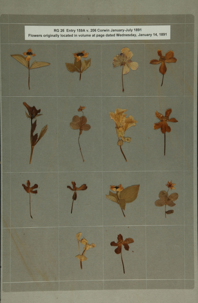 USRC Corwin pressed flowers, 1891
