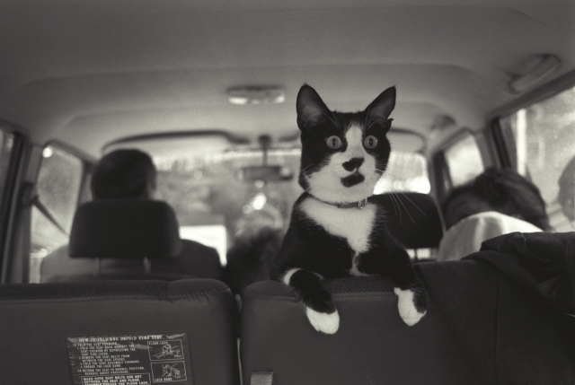 Photograph of Socks the Cat Perched on the Backseat of a Van, 9/16/1993